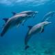 Dolfijnen in Kroatie