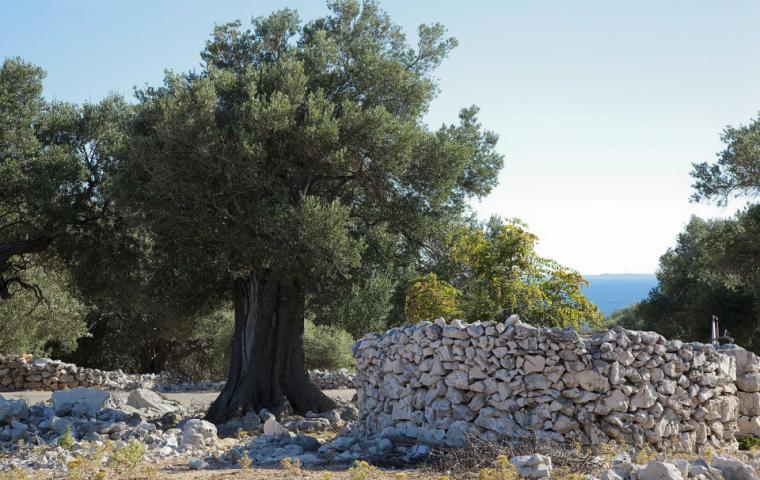 Olijfboom en stapelmuur in Kroatie